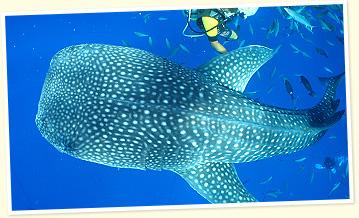ジンベエザメの画像 p1_28