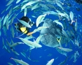ジンベエザメの周りには いつも魚が沢山。